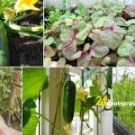 Mùa hè nên trồng rau gì?