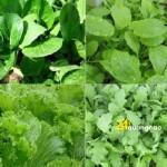 Rau gì dễ trồng nhất tại nhà?